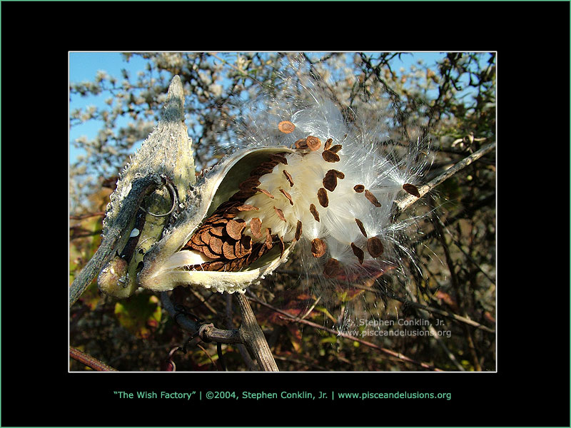 The Wish Factory, Milkweed Pod, by Stephen Conklin, Jr. - www.pisceandelusions.org
