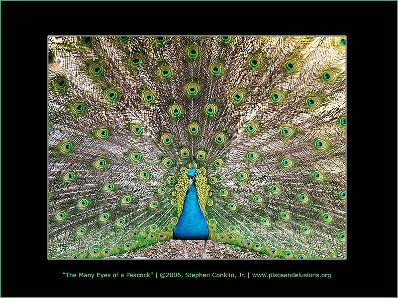 The Many Eyes of a Peacock, by Stephen Conklin, Jr. - www.pisceandelusions.org