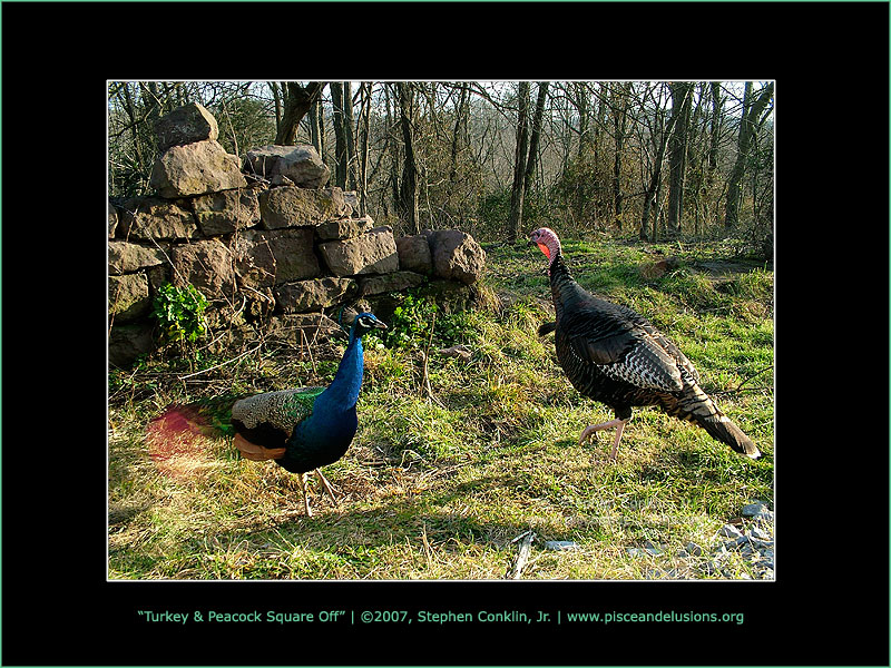 Turkey & Peacock Square Off, by Stephen Conklin, Jr. - www.pisceandelusions.org