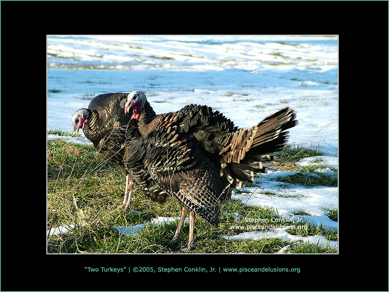 Two Turkeys, by Stephen Conklin, Jr. - www.pisceandelusions.org