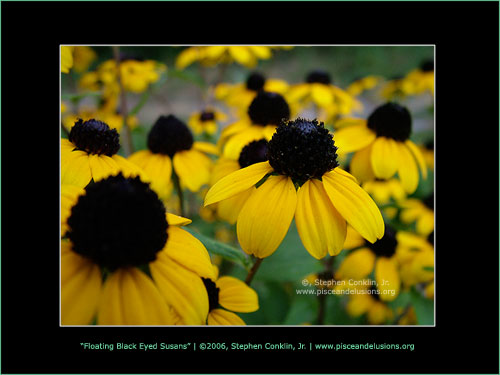 Floating Black-Eyed Susans, by Stephen Conklin, Jr. - www.pisceandelusions.org