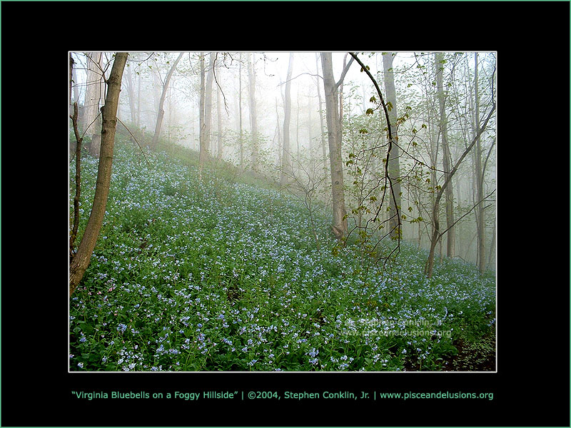 Virginia Bluebells on a Foggy Hillside, by Stephen Conklin, Jr. - www.pisceandelusions.org