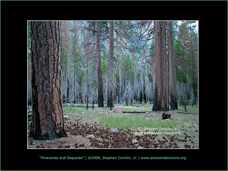 Pinecones and Sequoia Trees, Kings Canyon, by Stephen Conklin, Jr. - www.pisceandelusions.org