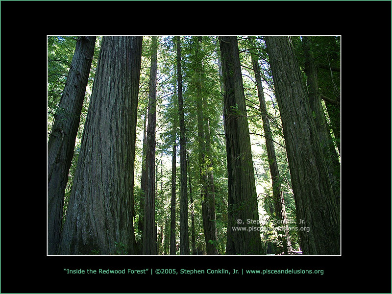 Inside the Redwood Forest, by Stephen Conklin, Jr. - www.pisceandelusions.org