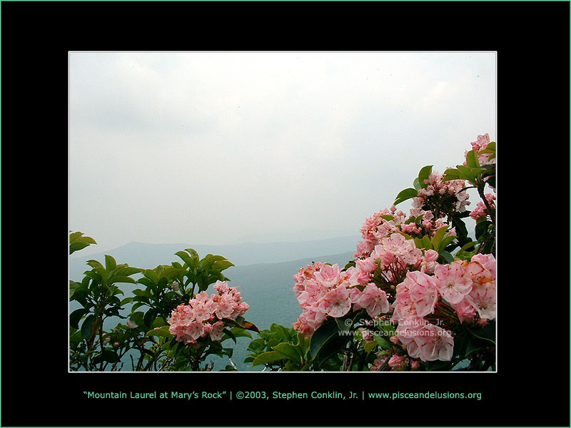 Mountain Laurel at Mary's Rock, by Stephen Conklin, Jr. - www.pisceandelusions.org