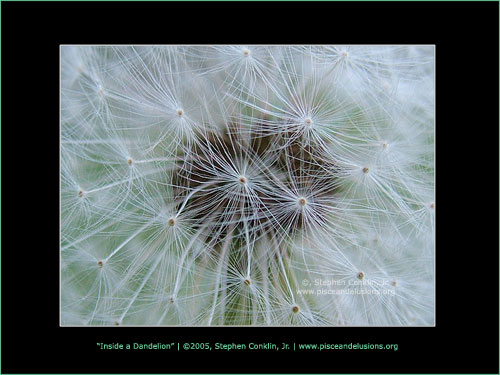 Inside a Dandelion, by Stephen Conklin, Jr. - www.pisceandelusions.org