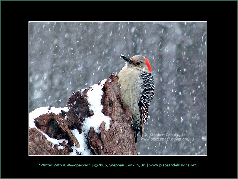 Winter With a Woodpecker, by Stephen Conklin, Jr - www.pisceandelusions.org